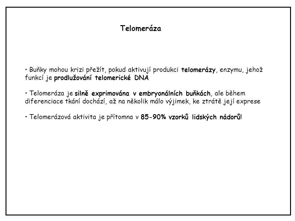 Telomeráza Buňky mohou krizi přežít, pokud aktivují produkci telomerázy, enzymu, jehož funkcí je prodlužování telomerické DNA.