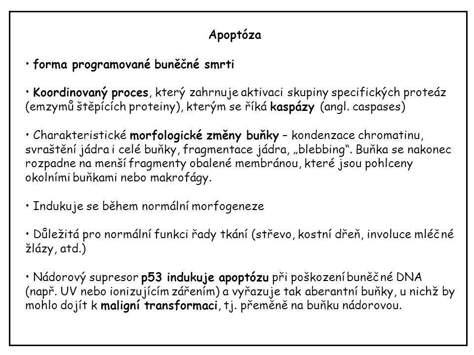 Apoptóza forma programované buněčné smrti.