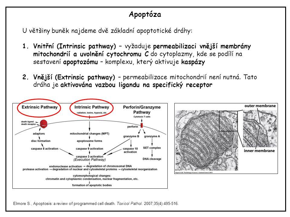 Apoptóza U většiny buněk najdeme dvě základní apoptotické dráhy: