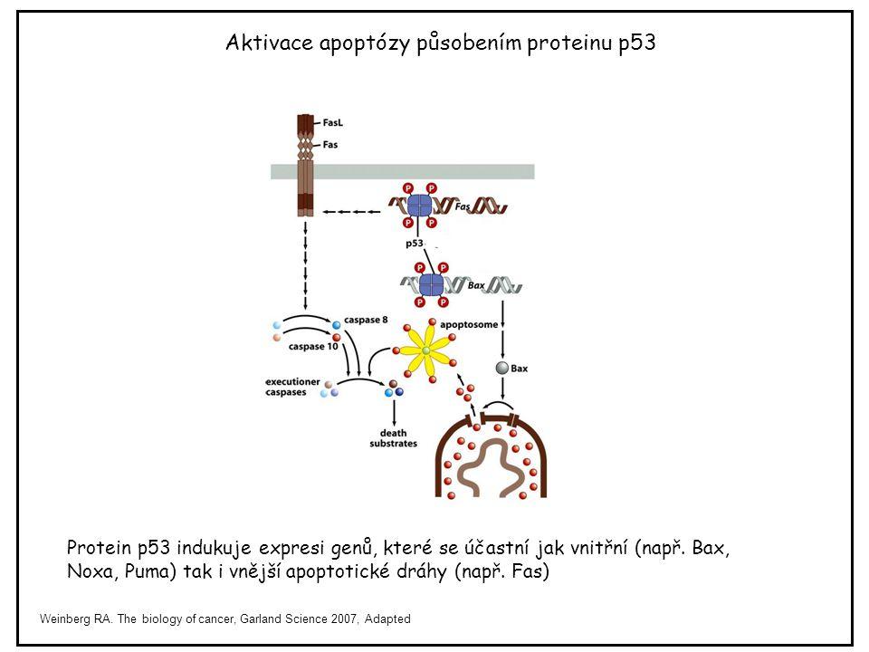 Aktivace apoptózy působením proteinu p53
