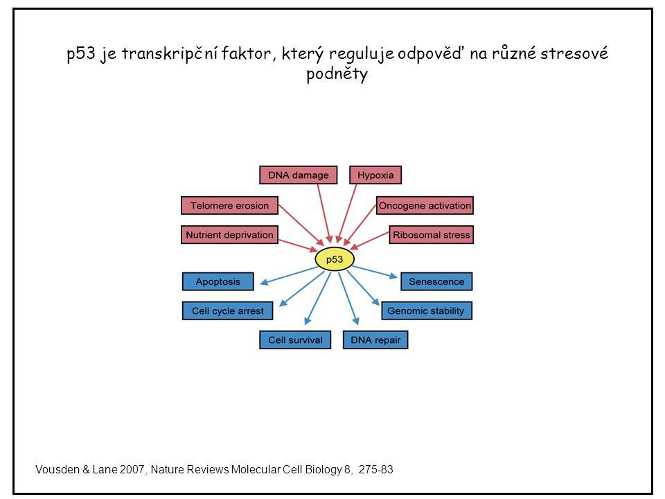 p53 je transkripční faktor, který reguluje odpověď na různé stresové podněty