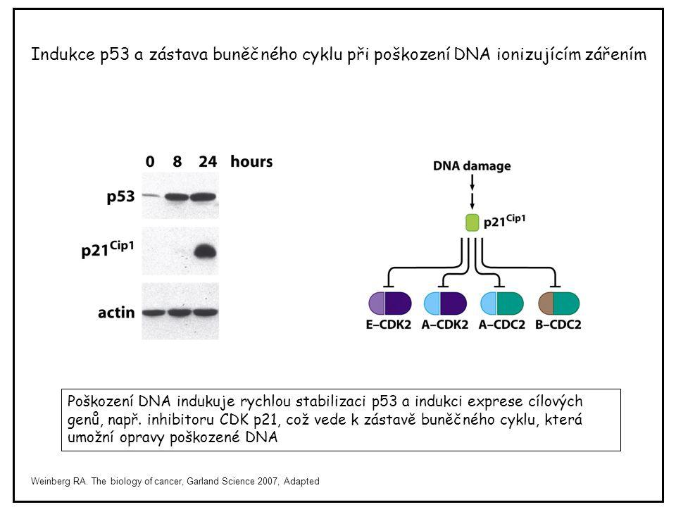 Indukce p53 a zástava buněčného cyklu při poškození DNA ionizujícím zářením