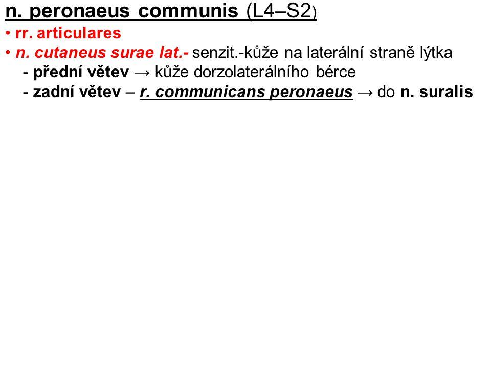 n. peronaeus communis (L4–S2)