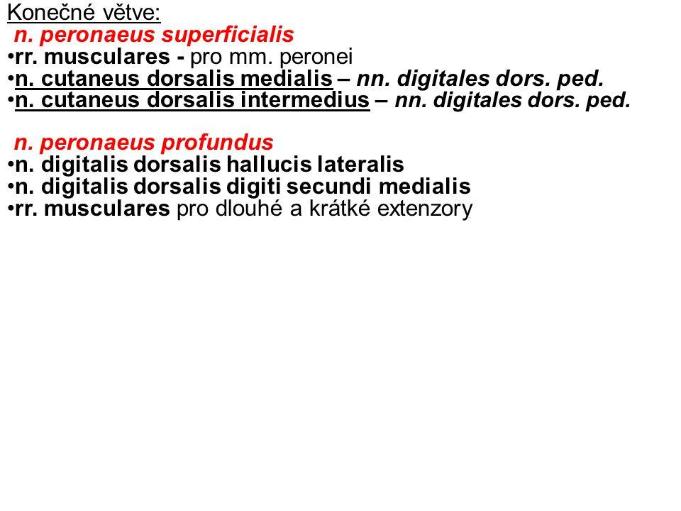 Konečné větve: n. peronaeus superficialis. rr. musculares - pro mm. peronei. n. cutaneus dorsalis medialis – nn. digitales dors. ped.