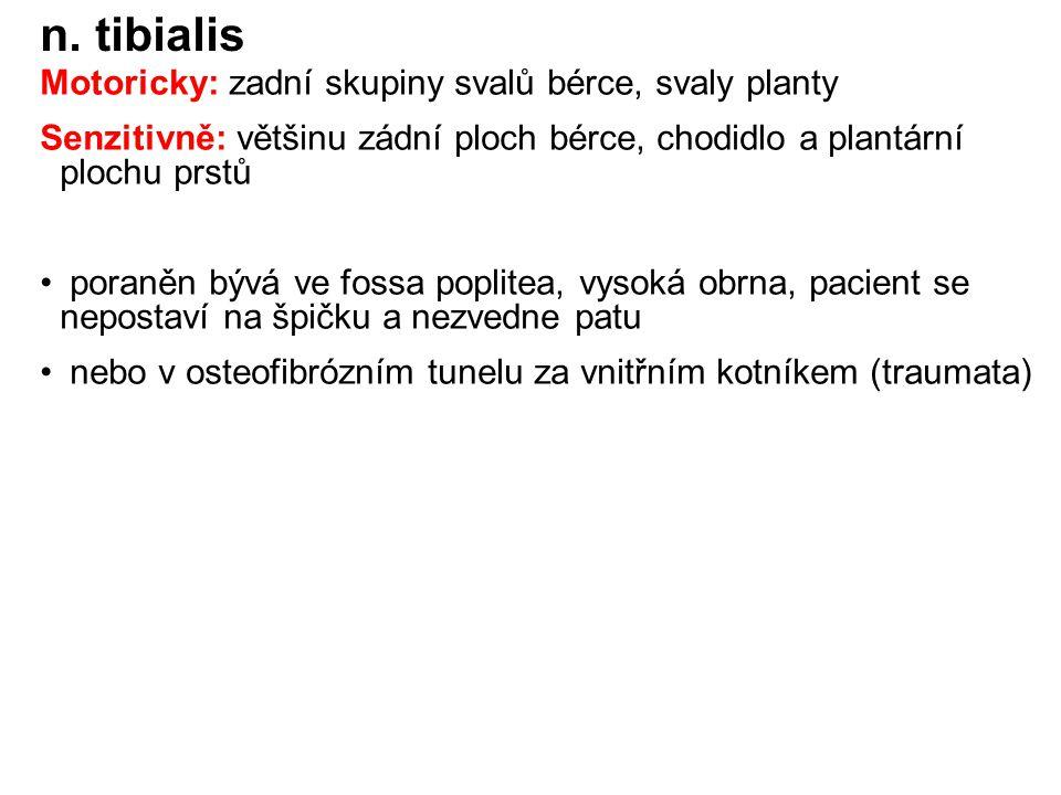 n. tibialis Motoricky: zadní skupiny svalů bérce, svaly planty