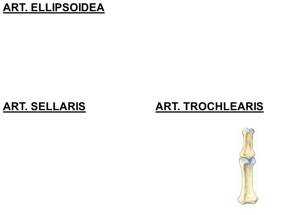 ART. ELLIPSOIDEA ART. SELLARIS ART. TROCHLEARIS