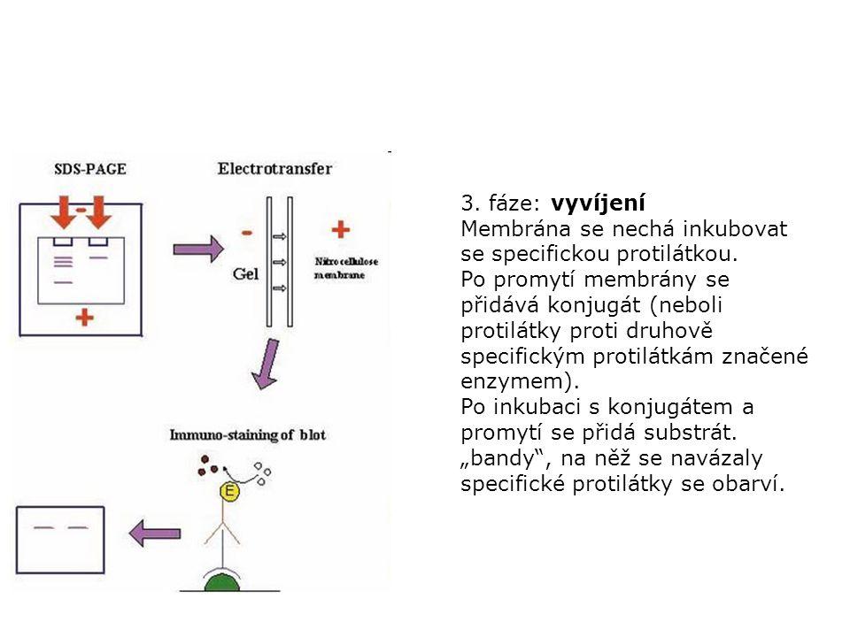 3. fáze: vyvíjení Membrána se nechá inkubovat se specifickou protilátkou.