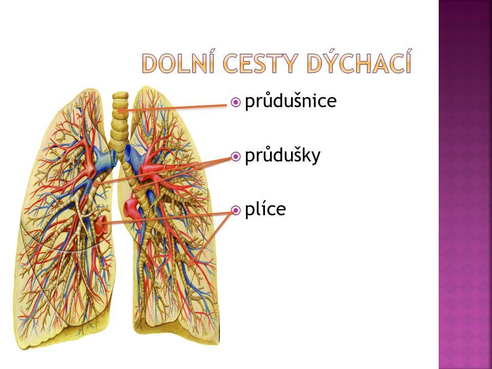 Dolní cesty dýchací průdušnice průdušky plíce