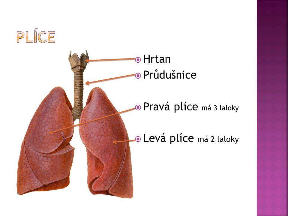 Plíce Hrtan Průdušnice Pravá plíce má 3 laloky Levá plíce má 2 laloky