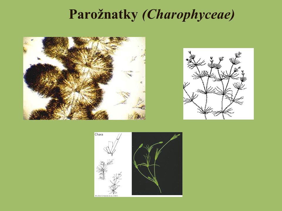 Parožnatky (Charophyceae)