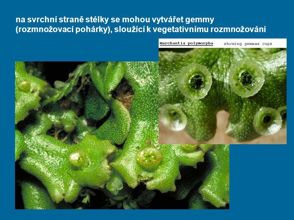 na svrchní straně stélky se mohou vytvářet gemmy (rozmnožovací pohárky), sloužící k vegetativnímu rozmnožování