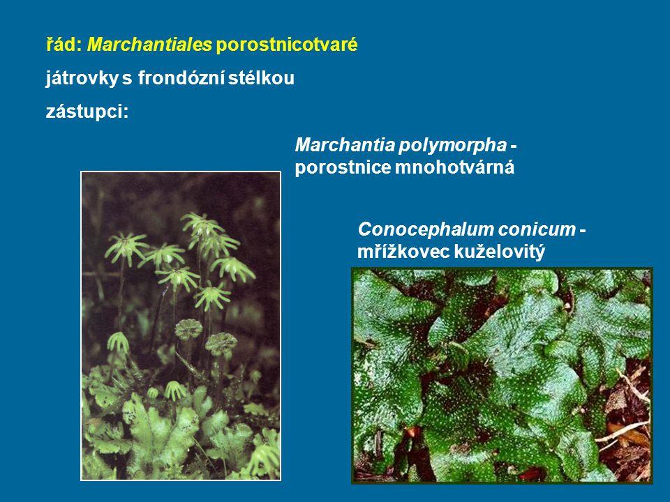 řád: Marchantiales porostnicotvaré