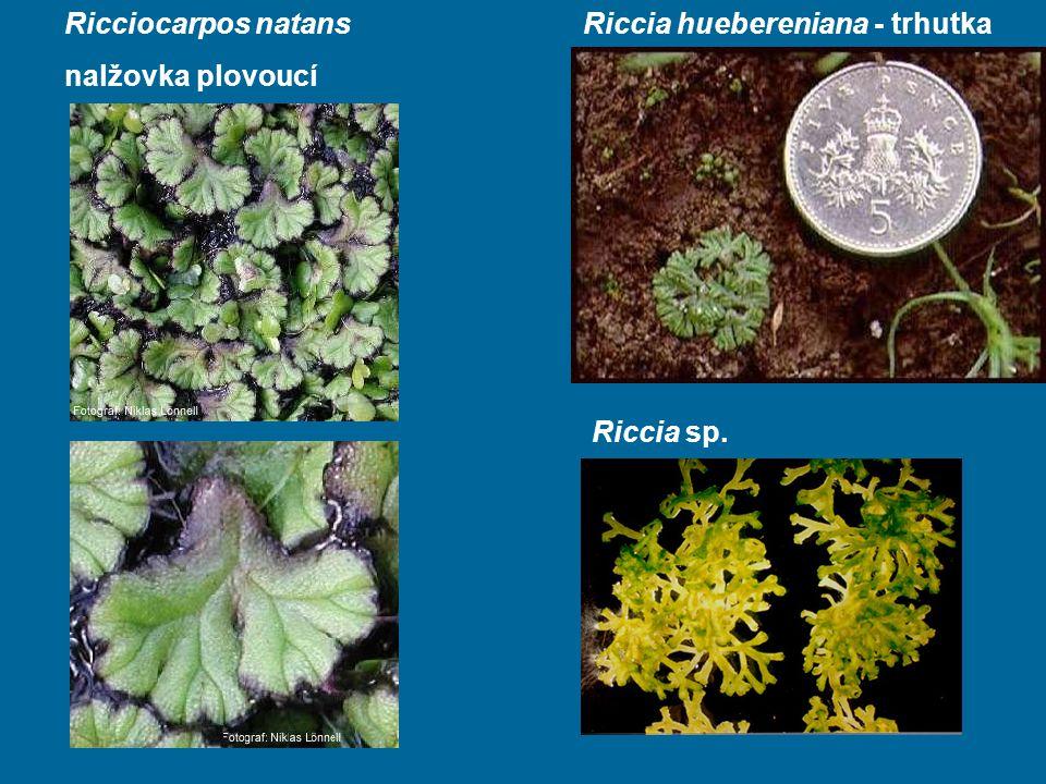 Ricciocarpos natans nalžovka plovoucí Riccia huebereniana - trhutka Riccia sp.