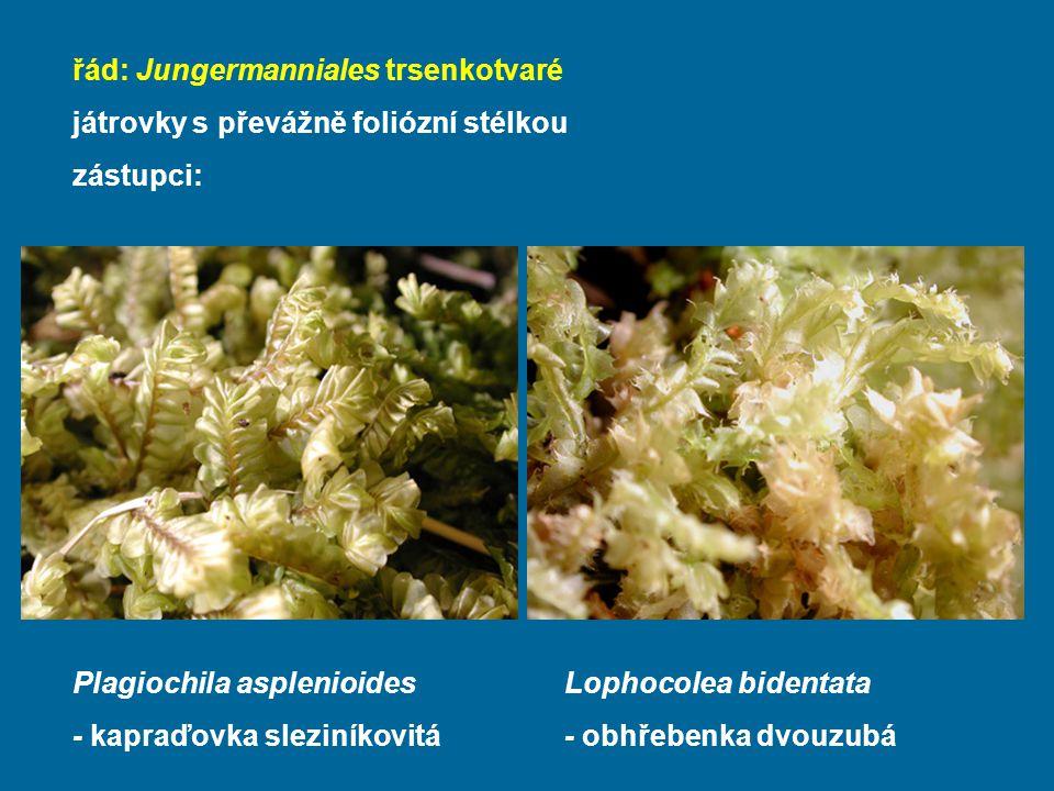 řád: Jungermanniales trsenkotvaré