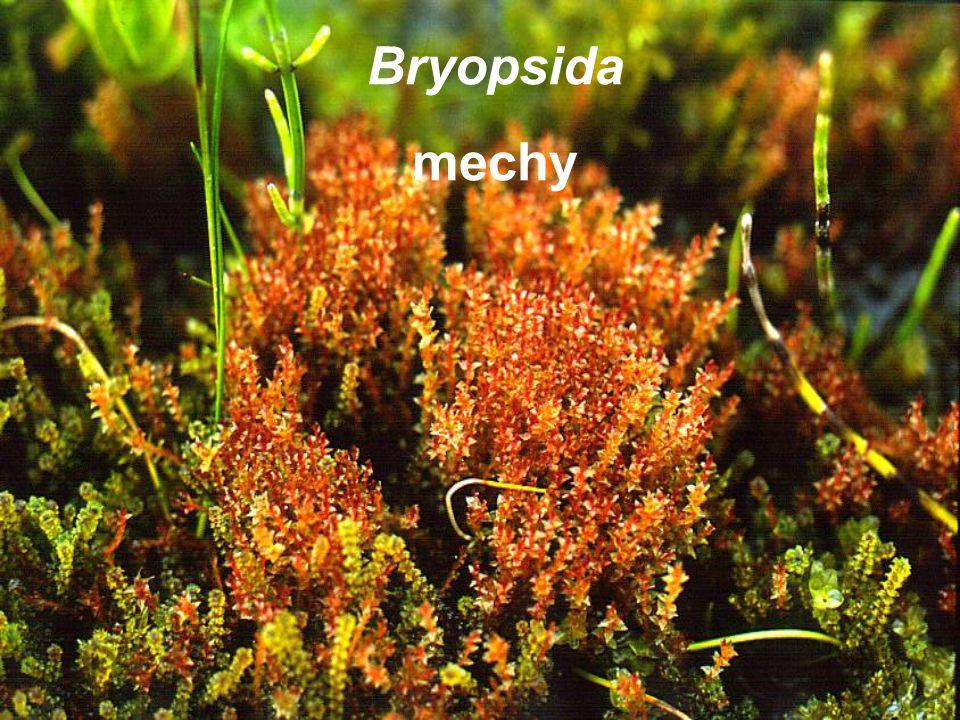 Bryopsida mechy