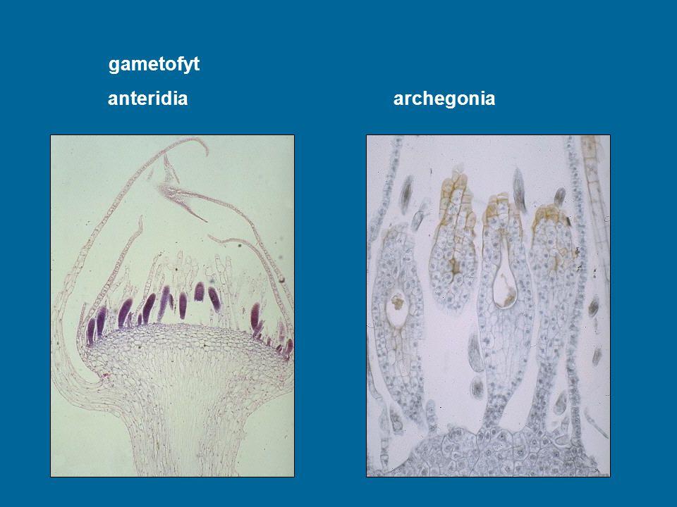 gametofyt anteridia archegonia