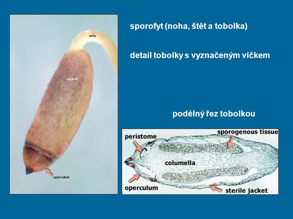 sporofyt (noha, štět a tobolka)