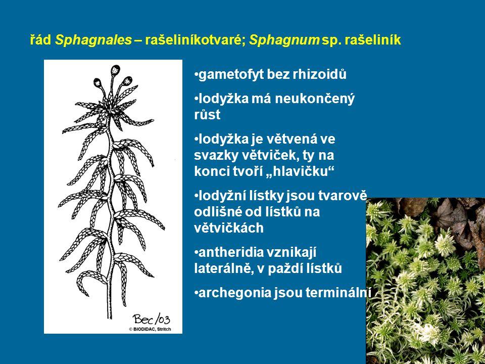 řád Sphagnales – rašeliníkotvaré; Sphagnum sp. rašeliník