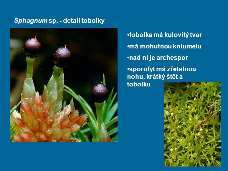 Sphagnum sp. - detail tobolky