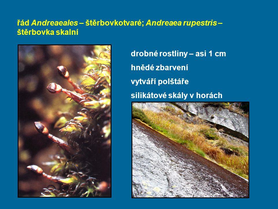 řád Andreaeales – štěrbovkotvaré; Andreaea rupestris – štěrbovka skalní