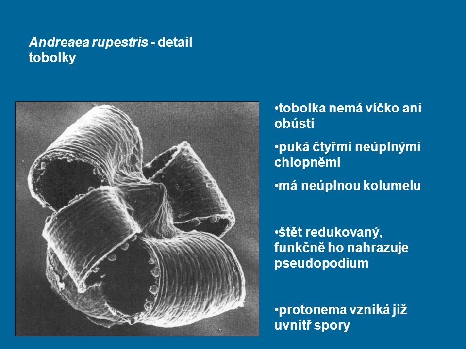 Andreaea rupestris - detail tobolky