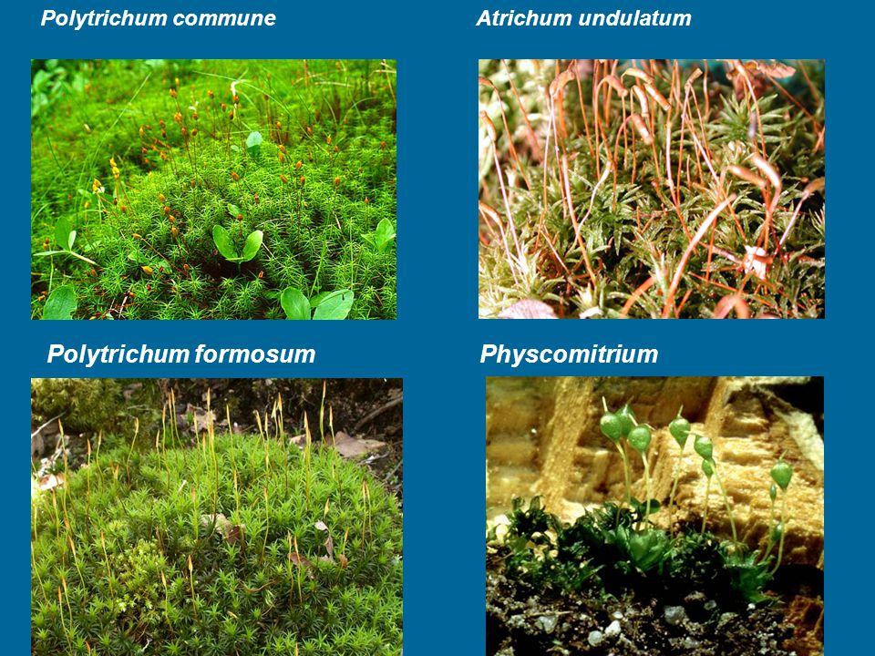 Polytrichum formosum Physcomitrium