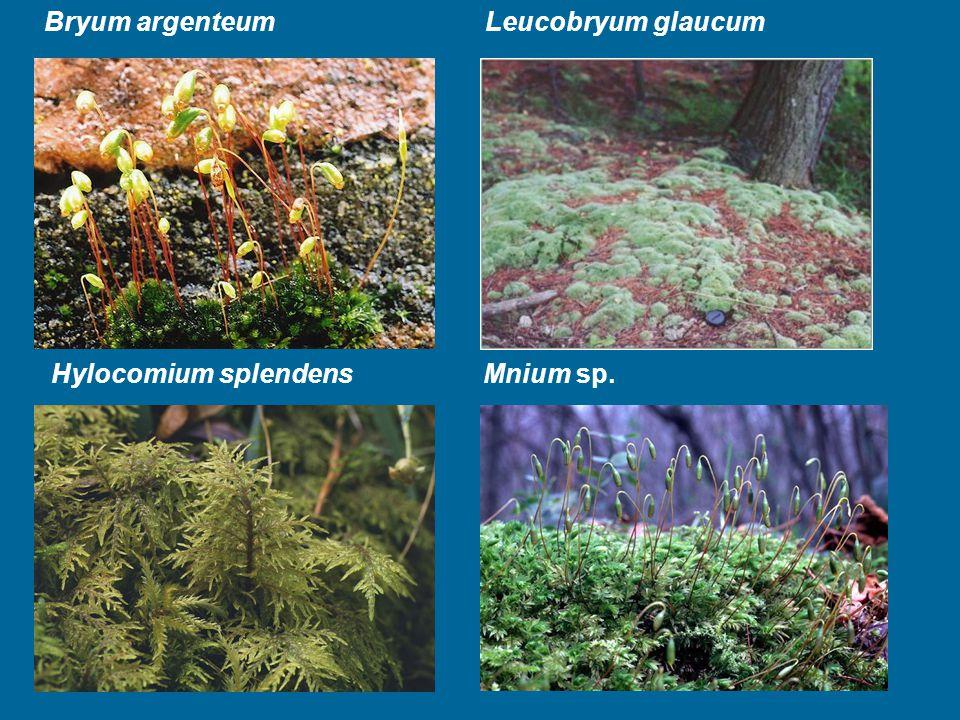 Bryum argenteum Leucobryum glaucum