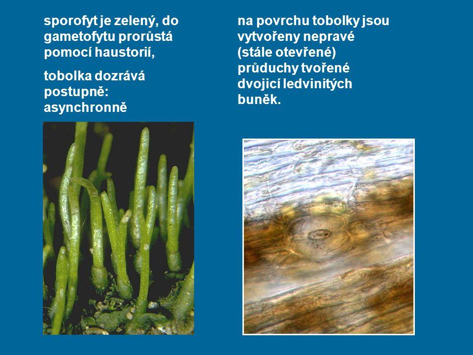 sporofyt je zelený, do gametofytu prorůstá pomocí haustorií,
