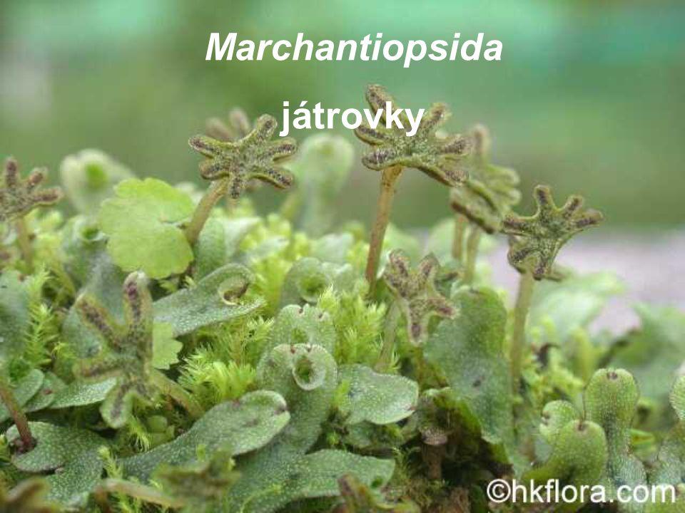 Marchantiopsida játrovky