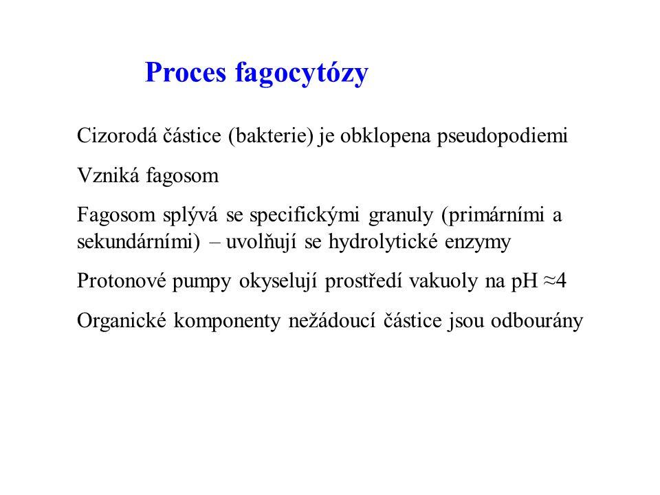 Proces fagocytózy Cizorodá částice (bakterie) je obklopena pseudopodiemi. Vzniká fagosom.