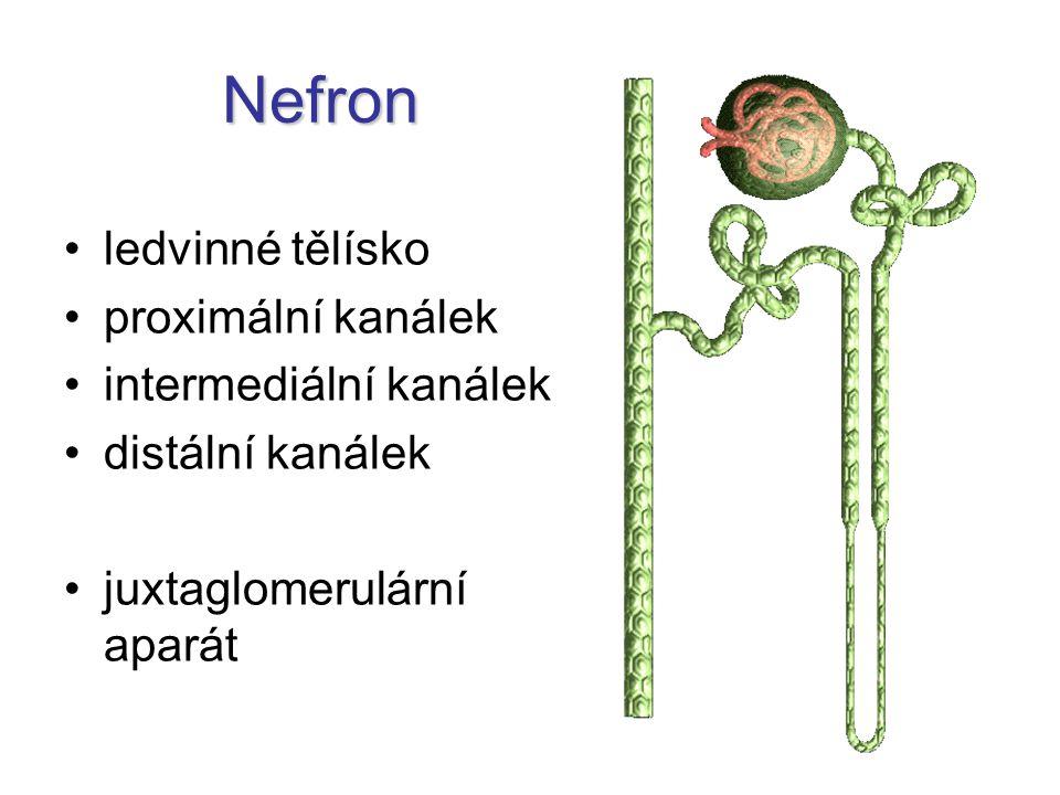 Nefron ledvinné tělísko proximální kanálek intermediální kanálek