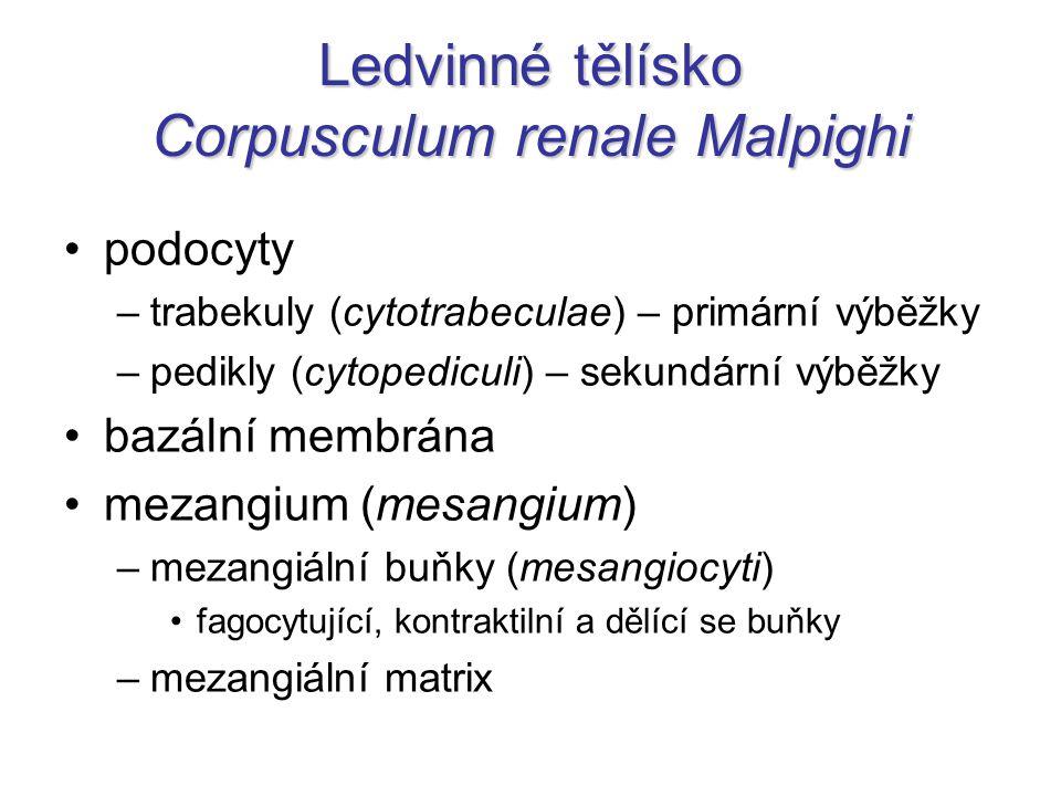 Ledvinné tělísko Corpusculum renale Malpighi