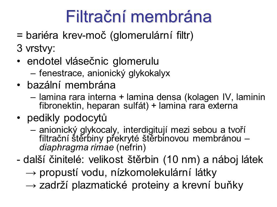 Filtrační membrána = bariéra krev-moč (glomerulární filtr) 3 vrstvy: