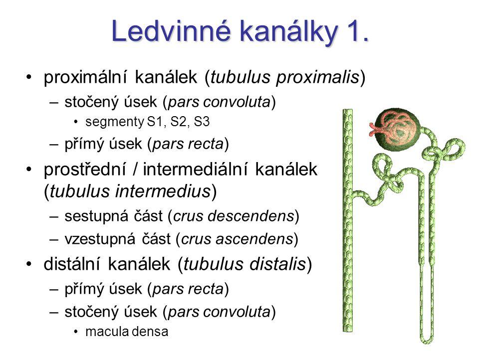 Ledvinné kanálky 1. proximální kanálek (tubulus proximalis)