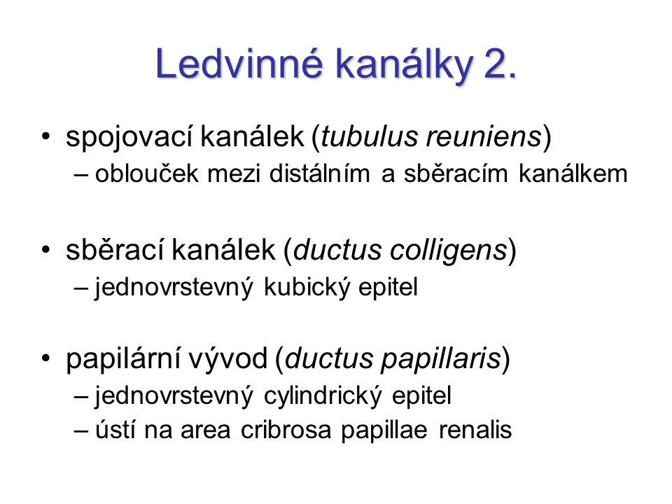 Ledvinné kanálky 2. spojovací kanálek (tubulus reuniens)