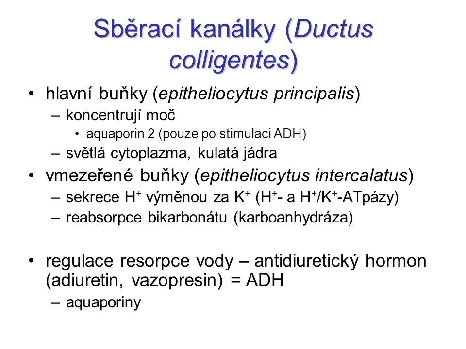Sběrací kanálky (Ductus colligentes)