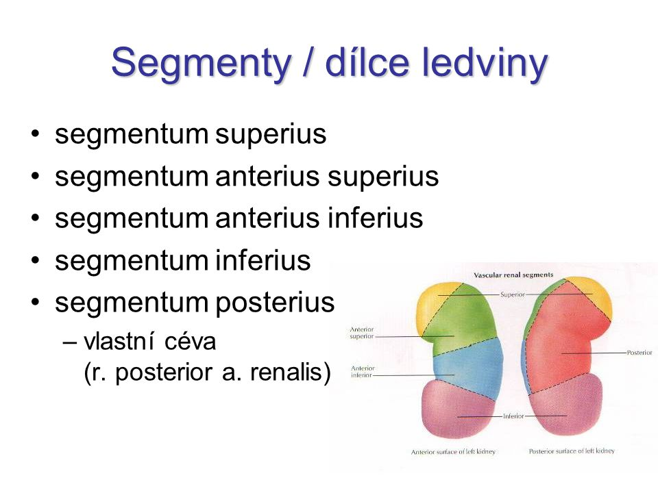 Segmenty / dílce ledviny