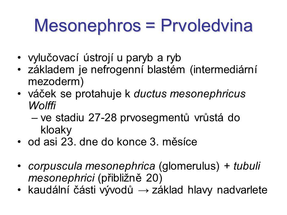 Mesonephros = Prvoledvina