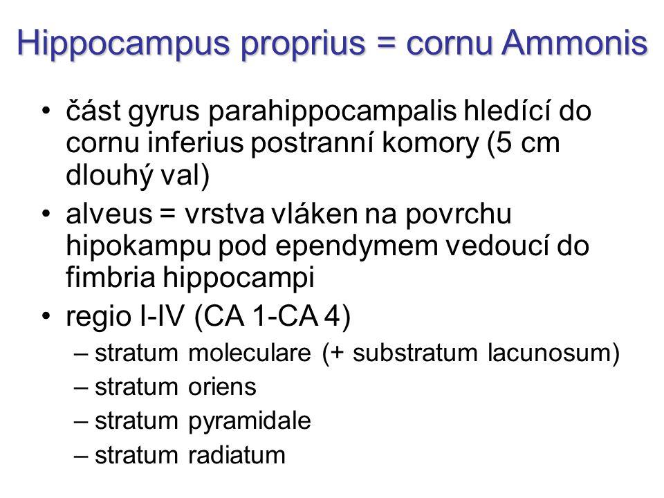 Hippocampus proprius = cornu Ammonis