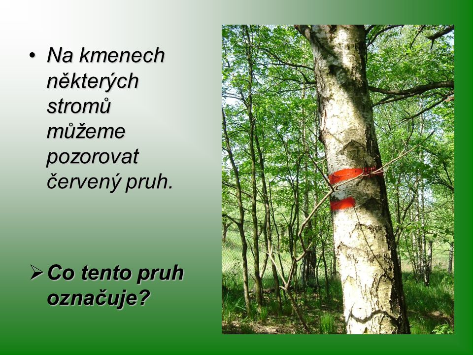 Na kmenech některých stromů můžeme pozorovat červený pruh.