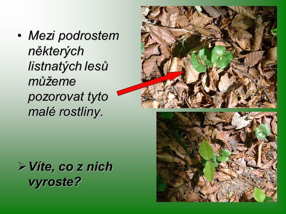 Mezi podrostem některých listnatých lesů můžeme pozorovat tyto malé rostliny.