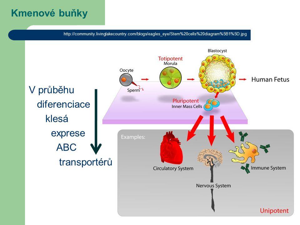 Kmenové buňky V průběhu diferenciace klesá exprese ABC transportérů