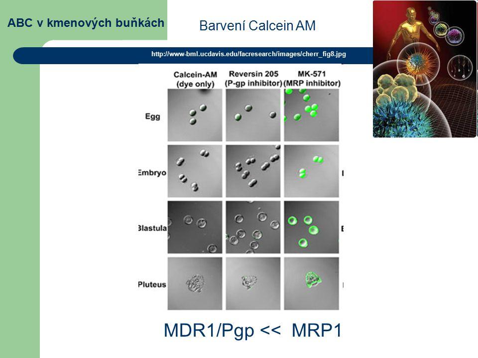 ABC v kmenových buňkách