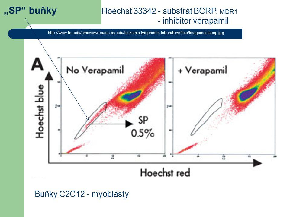 """""""SP buňky Hoechst 33342 - substrát BCRP, MDR1 Buňky C2C12 - myoblasty"""