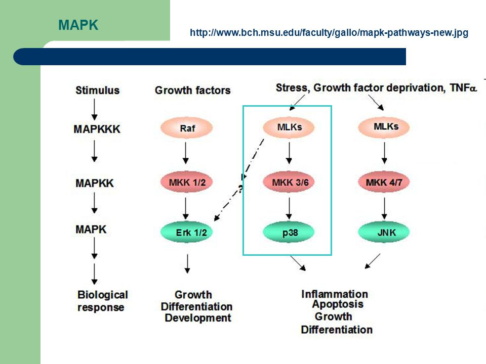 MAPK http://www.bch.msu.edu/faculty/gallo/mapk-pathways-new.jpg