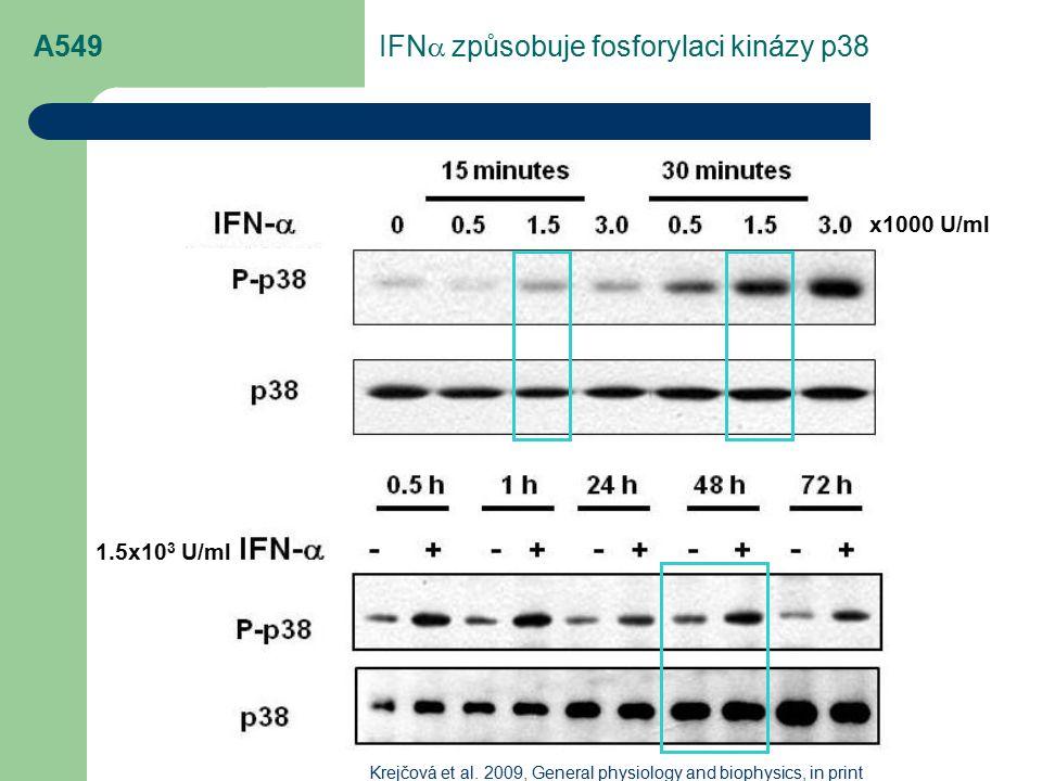 IFNa způsobuje fosforylaci kinázy p38