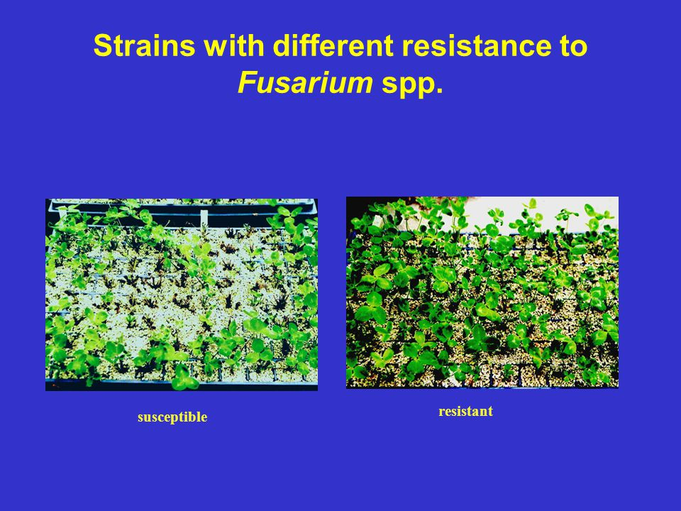 Strains with different resistance to Fusarium spp.