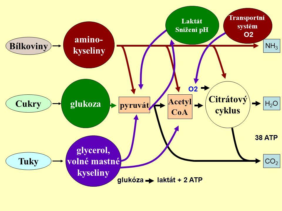 amino- kyseliny Bílkoviny Citrátový glukoza cyklus Cukry glycerol,