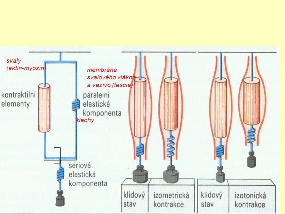 svaly (aktin-myozin) membrána svalového vlákna a vazivo (fascie) šlachy