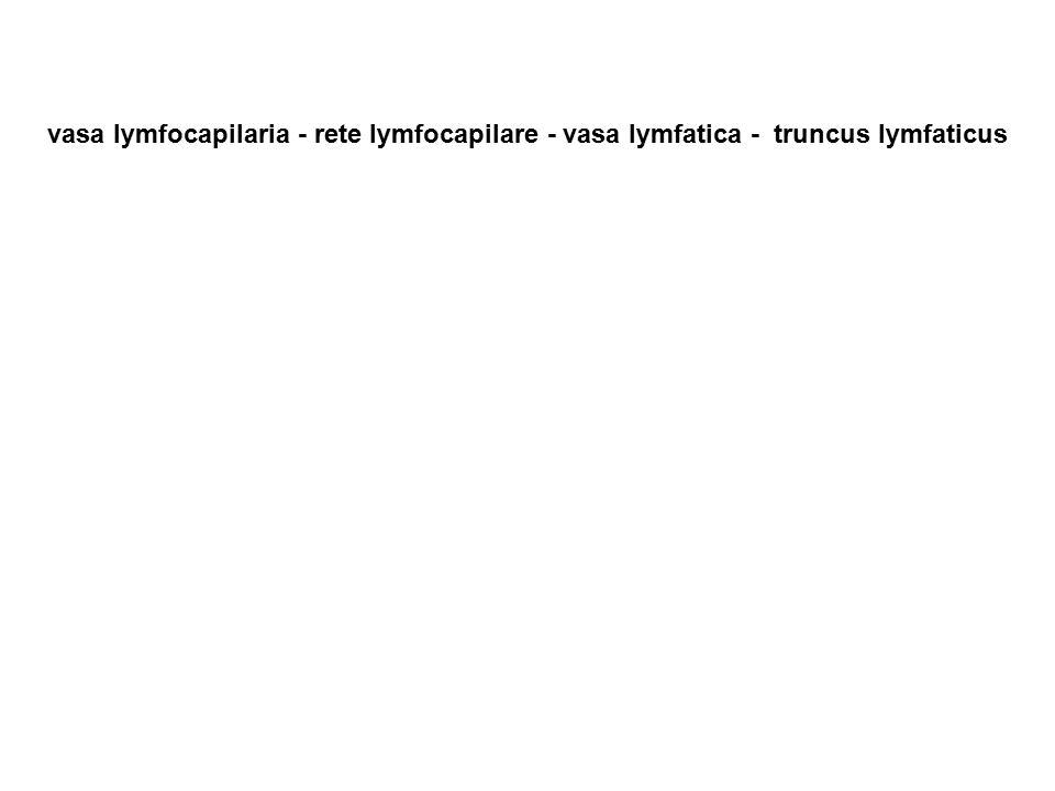 vasa lymfocapilaria - rete lymfocapilare - vasa lymfatica - truncus lymfaticus